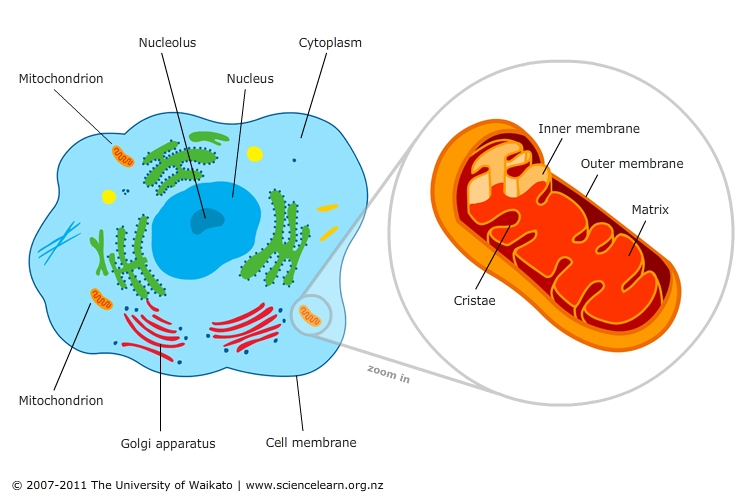 What Part Of The Cell Releases Energy Stored In Food